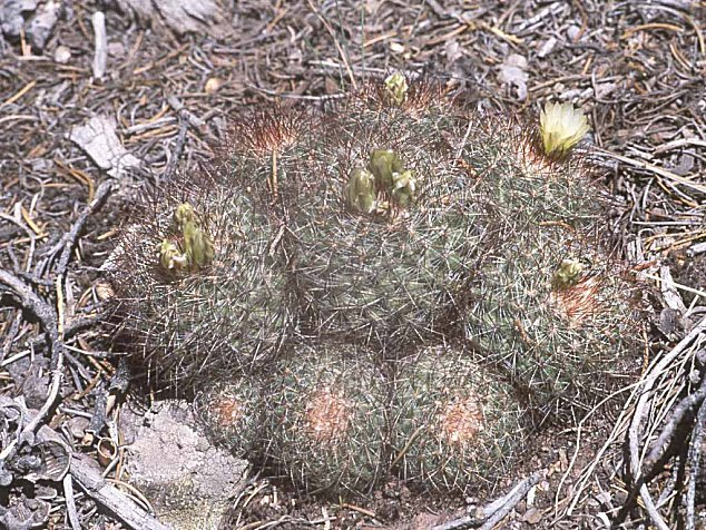 Pediocactus simpsonii ssp.simpsonii